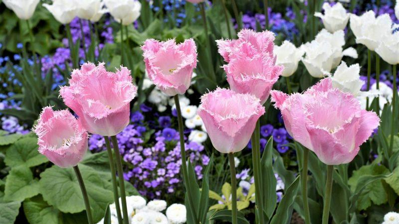 tulipani di Morges