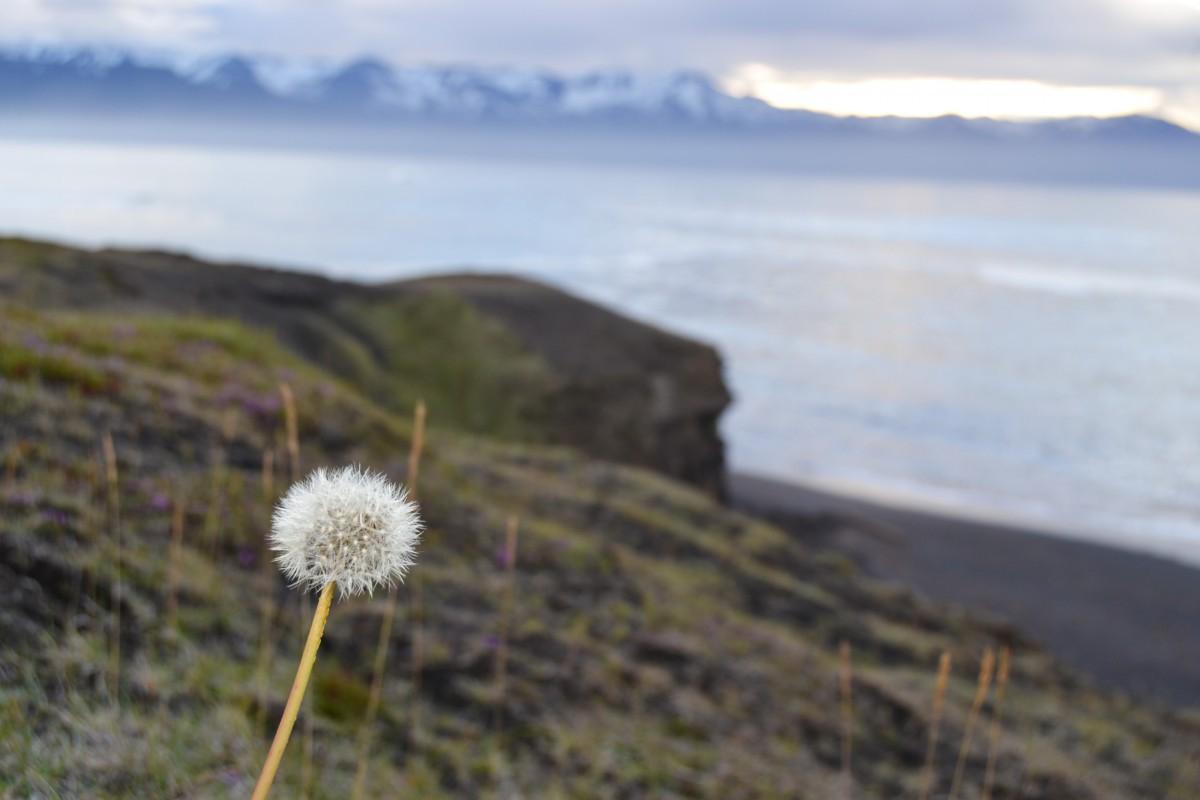 Islanda_fiore