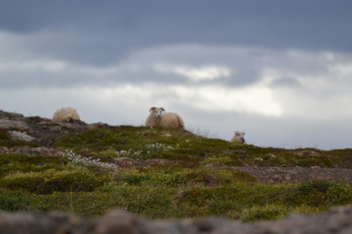 Islanda_pecore