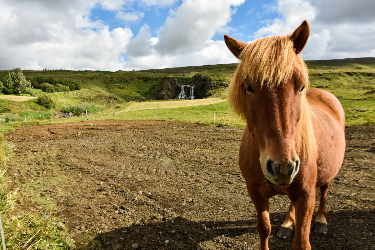 Islanda: il circolo d'oro cavallo