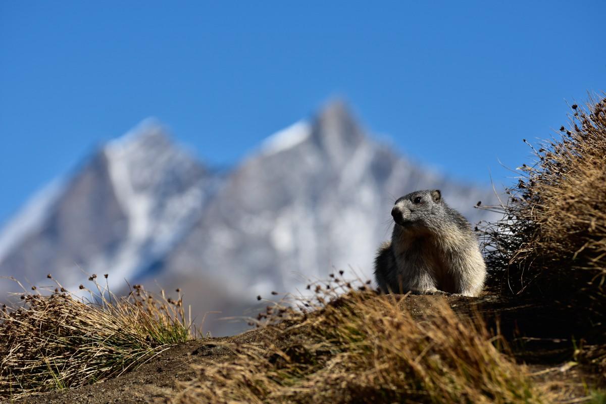 Zermatt_marmotte 2