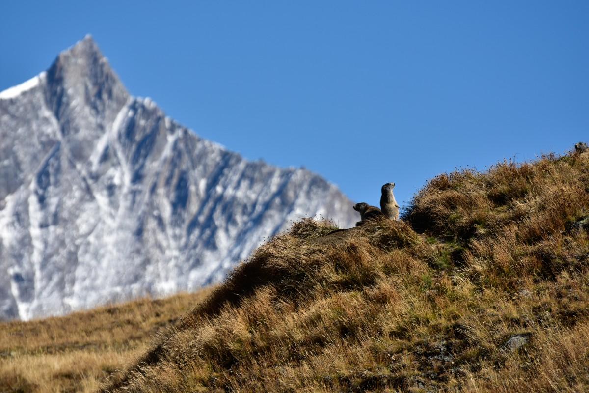 Zermatt_marmotte