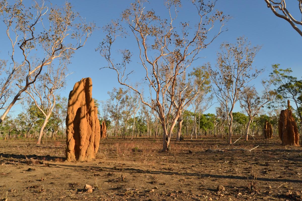 Kakadu_termitai