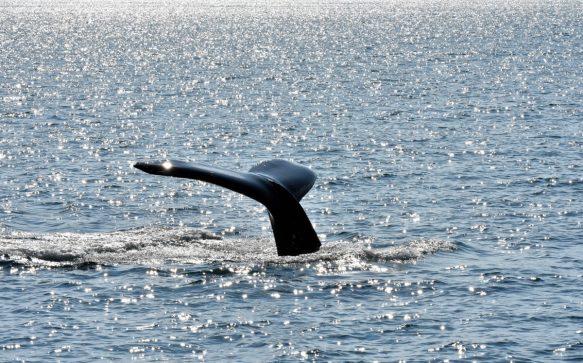Whale watching in Islanda: Húsavík o Hauganes?