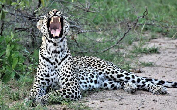 Sabi Sands: due giorni di leopardi ed emozioni forti