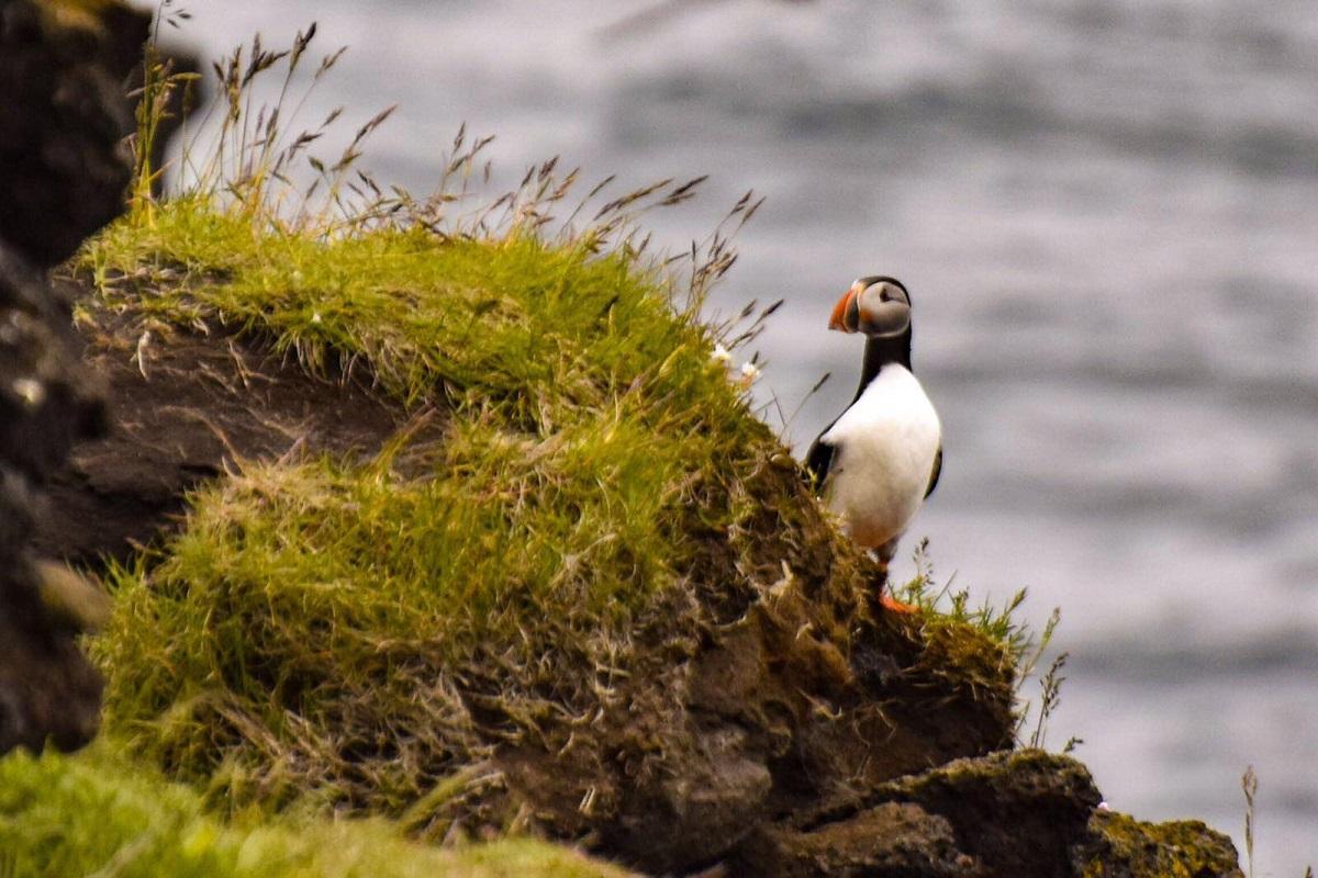 pulcinella di mare Islanda